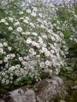 bunga beby breth