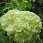 Elegant-Light-Green-Hydrangea-Seeds-balcony-Bonsai-Fort-Viburnum-Hydrangea-Macrophylla-Bonsai-Plant-Flower-Seeds-100